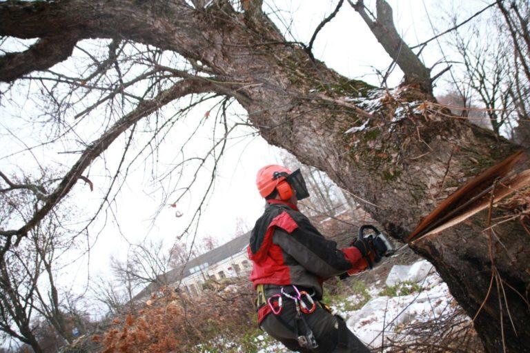 Спиливание дерева с помощью оттяжки и направляющего запила.