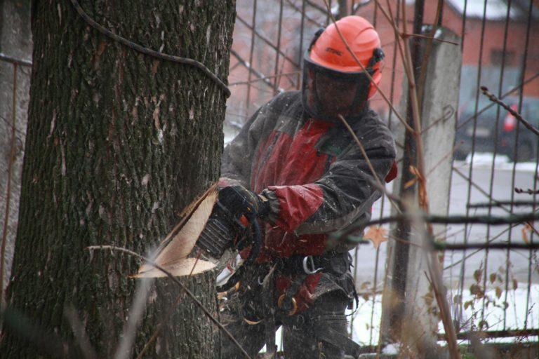 Процесс спиливания дерева с помощью оттяжки и направляющего запила.