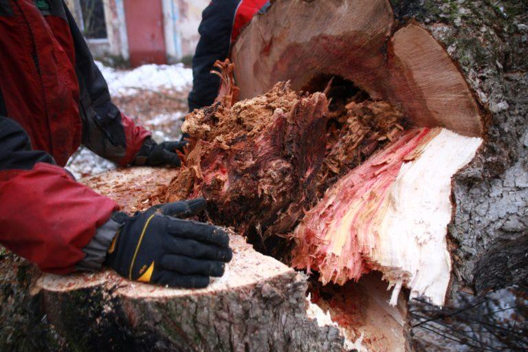Валка деревьев с использованием естественного наклона.