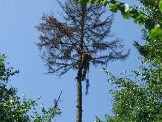 Удаление двух елок и сосны, с использованием альпинистского снаряжения. Город Обнинск.
