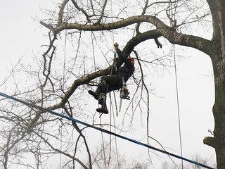 Спил дерева на кладбище в Курской области с применением альпинистского снаряжения, контролируемым сбросом частей.