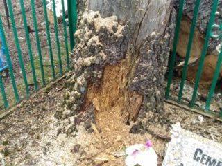"Удаление сгнивших берез на кладбище в г. Дмитриев. Фото ""До"""