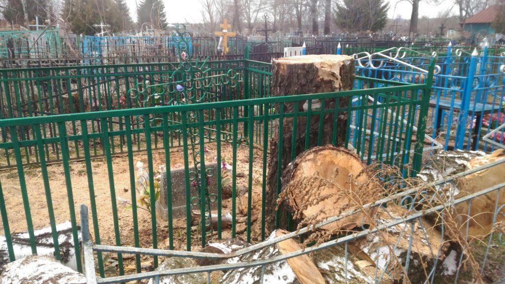 Спиленная сгившая береза на кладбище в г. Дмитриев